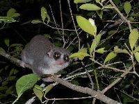 Fat-tailed Dwarf Lemur image