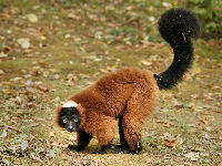 Red Ruffed Lemur image