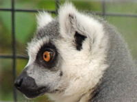 Ring-Tailed Lemur image