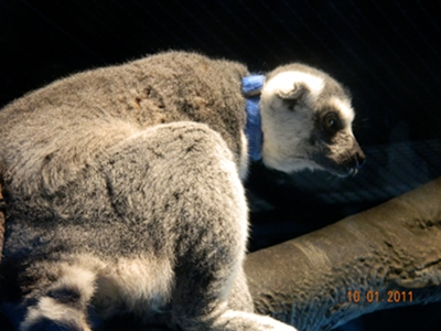 lemur/lemur_Ring-Tailed_Lemur