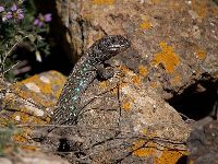 Atlantic Lizard image