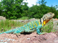 Common Collared Lizard image
