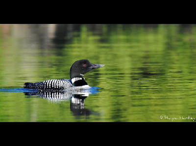 Loon  -  Common Loon