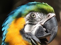 Blue-and-yellow Macaw image