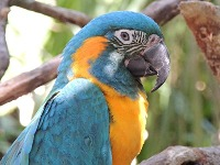 Blue-throated Macaw image