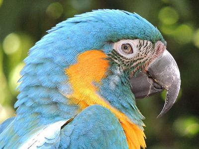 macaw/macaw_Blue-throated_Macaw