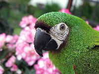 Severe Macaw image