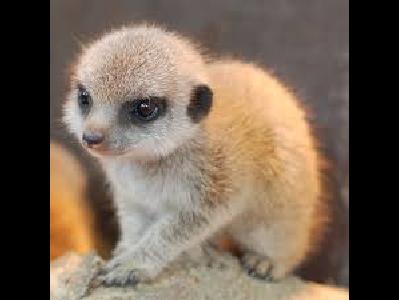 Meerkat Info Photo 14