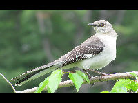 Northern Mockingbird image
