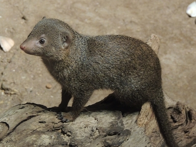 Mongoose  -  Dwarf Mongoose