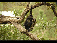Black-handed Spider Monkey image