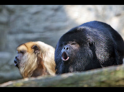Monkey  -  Howler Monkey
