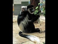 King Colobus image