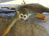 Squirrel Monkey image