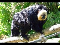 White-faced Saki image