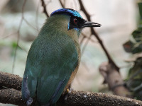 Blue-crowned Motmot image
