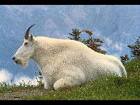 Mountain Goat image