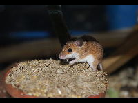 African Pygmy Mouse image