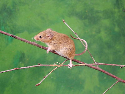 Mouse  -  Eurasian Harvest Mouse