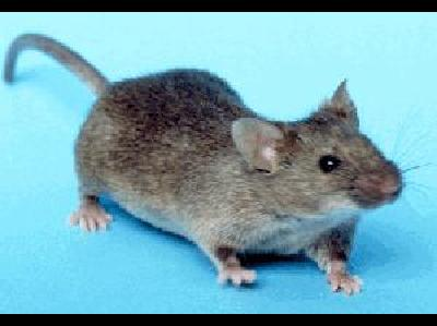 Mouse  -  House Mouse