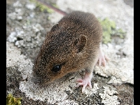 Wood Mouse image