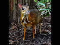 Mouse Deer image