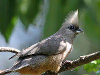 Speckled Mousebird image