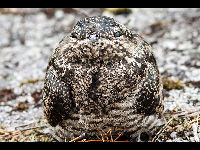 Common Nighthawk image