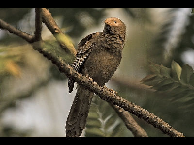 Old World Babbler