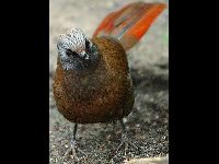 Red-winged Laughing Thrush image