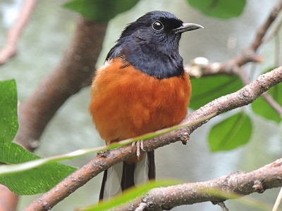 old_world_flycatcher/old_world_flycatcher_White-rumped_Shama