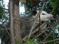 Virginia Opossum image