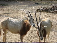 Scimitar-Horned Oryx image