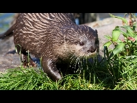 Oriental Small-clawed Otter image