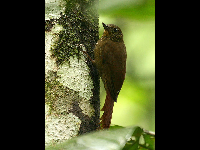 Wedge-billed Woodcreeper image