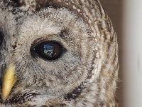 owl/owl_Barred_Owlimage4