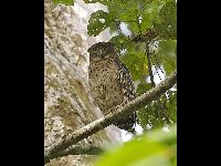 Brown Fish Owl image