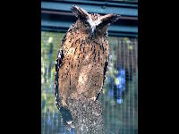 Buffy Fish Owl image