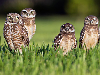 Burrowing Owl image
