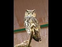 Cape Eagle Owl image