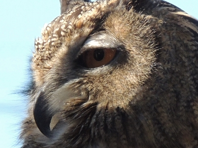 Owl  -  Great Horned Owl