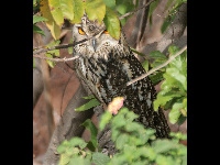 Indian Eagle Owl image