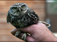 Little Owl image