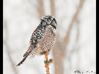 Northern Hawk Owl image