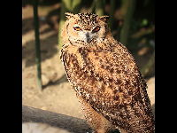 Pharaoh Eagle Owl image