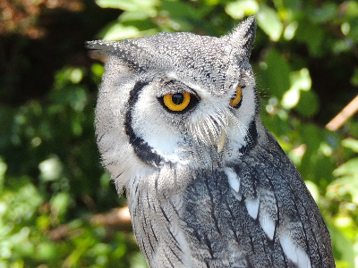 Owl  -  Southern White-faced Scops Owl