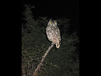 Spotted Eagle Owl image