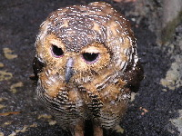 Spotted Wood Owl image
