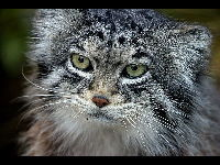 Pallas's cat image