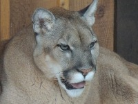 Florida Panther image